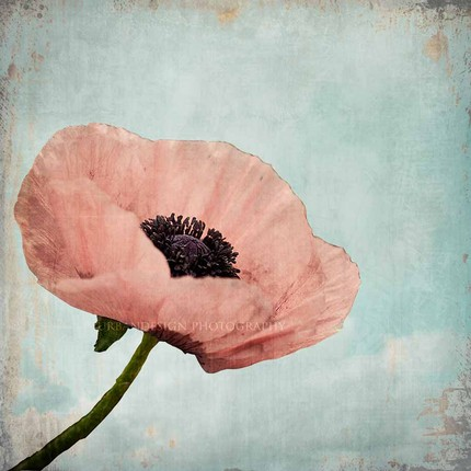 Poppy Enchanted - 8x8 Fine Art Print